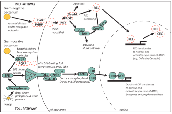 Schematic of some of the immune pathways in the pea aphid. Genes outlined in red are missing in pea aphids but found in most other insects